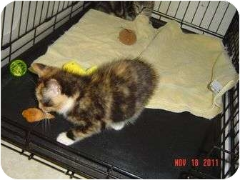 Calico Kitten for adoption in Medford, New Jersey - Hope