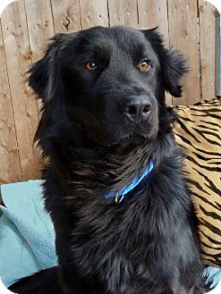 Flat Coated Retriever Cross Remy | Adopted Dog | C...