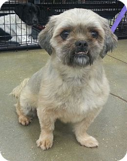 Lhasa Apso Dog for adoption in Orlando, Florida - Princess