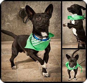 Chihuahua Mix Dog for adoption in North Brunswick, New Jersey - Jason