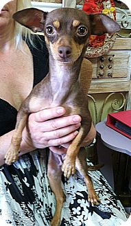 Dachshund/Chihuahua Mix Dog for adoption in Encino, California - Mama Mia