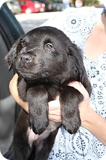 Labrador Retriever/Retriever (Unknown Type) Mix Puppy for adoption in Waldorf, Maryland - Peaches
