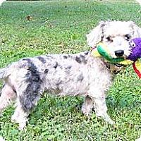 Adopt A Pet :: Patrick - Mocksville, NC