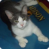 Adopt A Pet :: Toes - Mesa, AZ