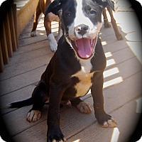 Adopt A Pet :: Ursa - Ijamsville, MD