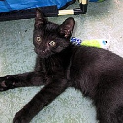 Photo 3 - Domestic Shorthair Cat for adoption in Palm City, Florida - Jetson