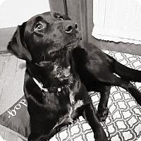 Adopt A Pet :: Duchess - Tomah, WI