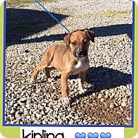 Adopt A Pet :: Kipling (Pom) - Harrisonburg, VA