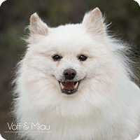 Pomeranian Dog for adoption in Capistrano Beach, California - Milo