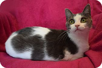 Domestic Shorthair Cat for adoption in Winterville, North Carolina - JACKIE
