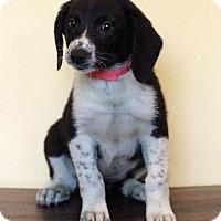 Adopt A Pet :: Leia - Waldorf, MD