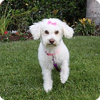 Adopt A Pet :: LORI - Newport Beach, CA