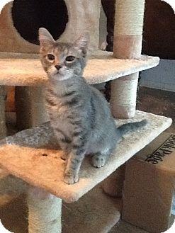 Domestic Shorthair Cat for adoption in Houston, Texas - Lauren