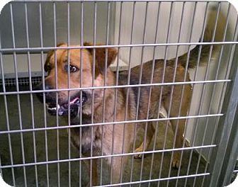 Shepherd (Unknown Type) Mix Dog for adoption in Terre Haute, Indiana - SAMSON