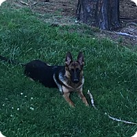 German Shepherd Dog Puppy for adoption in Morrisville, North Carolina - Saba (Schatzi)