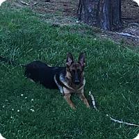 Adopt A Pet :: Saba (Schatzi) - Morrisville, NC