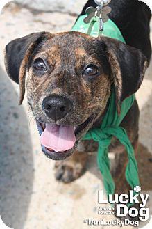 Beagle/Shepherd (Unknown Type) Mix Puppy for adoption in Washington, D.C. - Parker