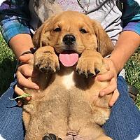 Adopt A Pet :: Bonnie's Balboa - Las Vegas, NV