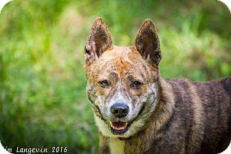 Australian Cattle Dog/Shiba Inu Mix Dog for adoption in Bradenton, Florida - Bebe