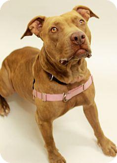 Staffordshire Bull Terrier Mix Dog for adoption in Sedona, Arizona - Tulip
