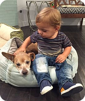 Beagle/Dachshund Mix Dog for adoption in Los Angeles, California - Myrtle LOVES kids!