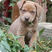 Cattle Dog/Retriever (Unknown Type) Mix Puppy for adoption in Danbury, Connecticut - Fawn