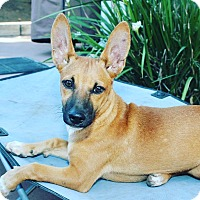 Terrier (Unknown Type, Medium)/Rat Terrier Mix Puppy for adoption in Thousand Oaks, California - Fern