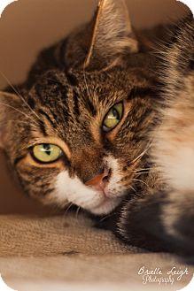 Domestic Shorthair Cat for adoption in Brimfield, Massachusetts - Lynx