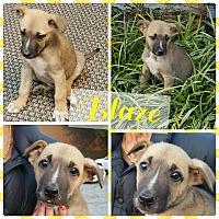 Shepherd (Unknown Type) Mix Puppy for adoption in Gainesville, Georgia - Blaze
