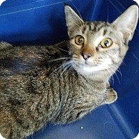 Domestic Shorthair Cat for adoption in Spring, Texas - Chelsea