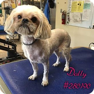 Shih Tzu Dog for adoption in Conroe, Texas - DOLLY