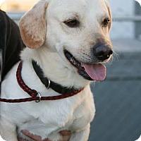Adopt A Pet :: Ivan - Las Vegas, NV