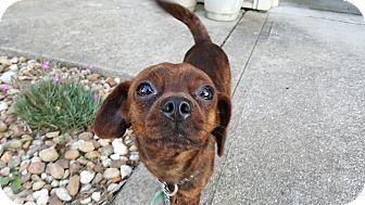 Dachshund/Chihuahua Mix Dog for adoption in Lexington, Kentucky - Tigger