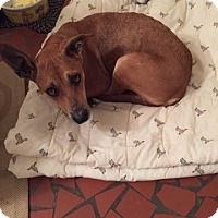 Adopt A Pet :: Scarlett (fostered in NC) - Cranston, RI
