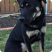 Adopt A Pet :: Selena - Gorgeous GSD Pup! - Federal Way, WA