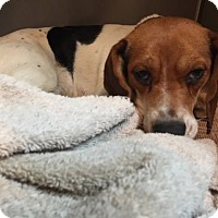Adopt A Pet :: Rihanna - Lewisburg, TN