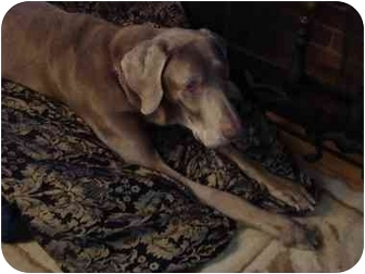 Weimaraner Dog for adoption in Attica, New York - Harry