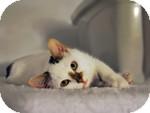 Domestic Shorthair Kitten for adoption in Ottawa, Ontario - Ginger Rogers