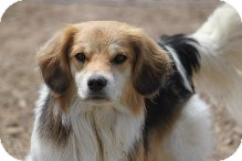 Sheltie, Shetland Sheepdog/Beagle Mix Dog for adoption in Russellville, Kentucky - Bobby