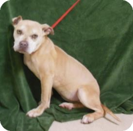 Pit Bull Terrier Mix Dog for adoption in Gary, Indiana - Blondie