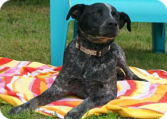 Cattle Dog/Labrador Retriever Mix Dog for adoption in River Falls, Wisconsin - Marley
