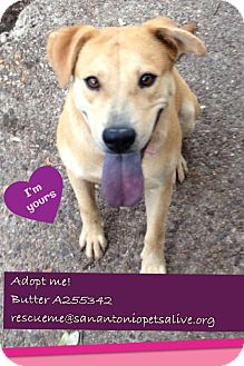 Chow Chow/Shepherd (Unknown Type) Mix Dog for adoption in San Antonio, Texas - A255342 Butter