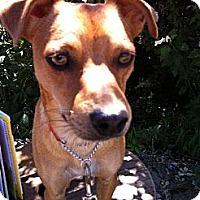 Adopt A Pet :: Clifford The Big, Red Dog - Elk Grove, CA
