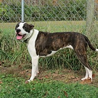 Pit Bull Terrier/Mastiff Mix Dog for adoption in Pleasant Plain, Ohio - Bessie