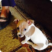 Adopt A Pet :: Puppy Lacy - San Antonio, TX