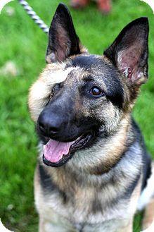 German Shepherd Dog Mix Dog for adoption in Prospect,, Kentucky - Cello