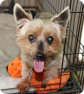 Yorkshire Terrier Nj Newark, NJ - Yo...