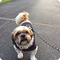 Shih Tzu Dog for adoption in Honeoye Falls, New York - Duffy