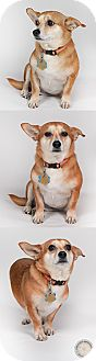 Chihuahua Mix Dog for adoption in Chantilly, Virginia - Fiona the Chi