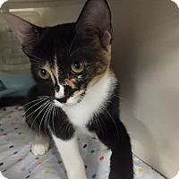 Adopt A Pet :: Patches - La Canada Flintridge, CA